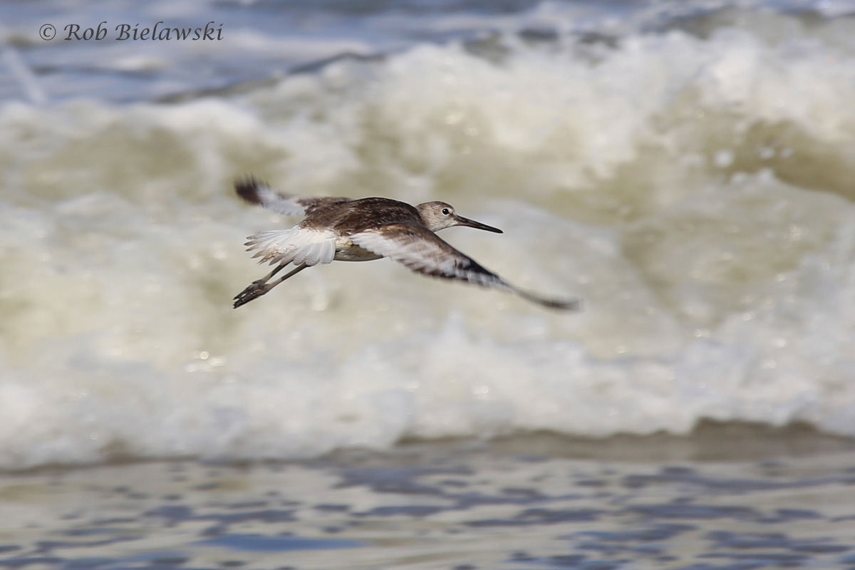 Willet in flight against the crashing waves!