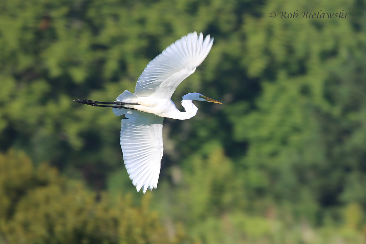 An adult Great Egret takes flight at Princess Anne Wildlife Management Area!