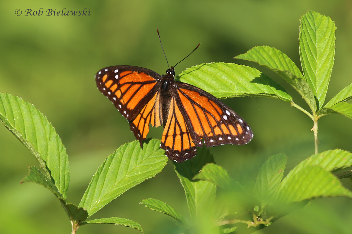 The Monarch's lookalike, this is actually a Viceroy!