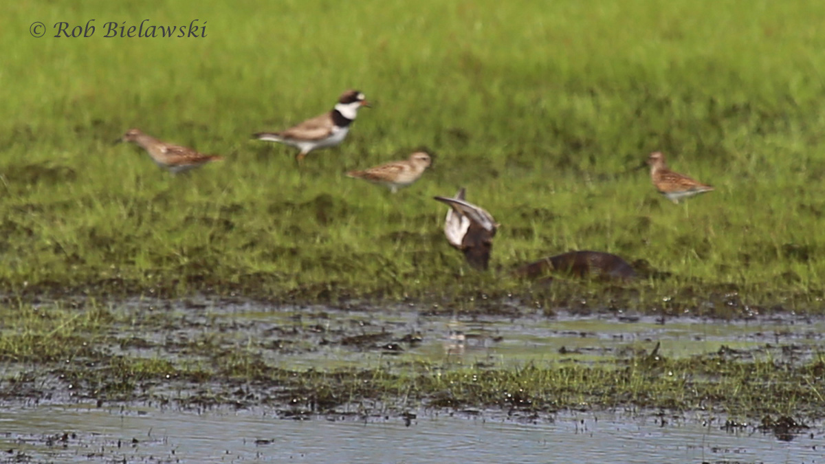 Semipalmated Plover, Least Sandpipers & Eastern Cottonmouth