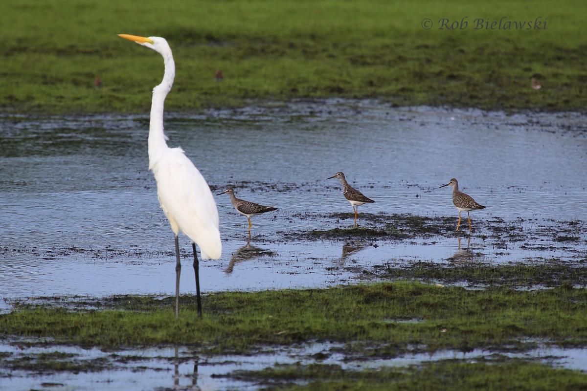 Great Egret & Greater Yellowlegs