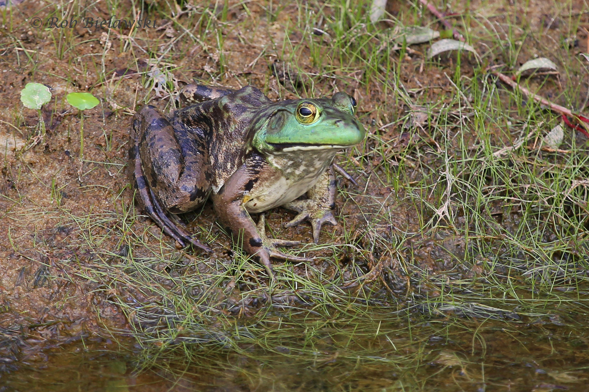 On of several American Bullfrogs hanging out along the ditches of the East Dike Trail at Back Bay!
