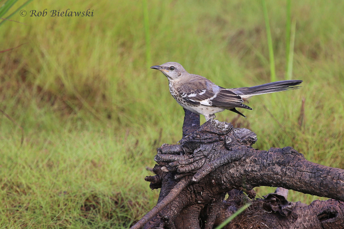 Still showing it's spots, this is a juvenile Northern Mockingbird!
