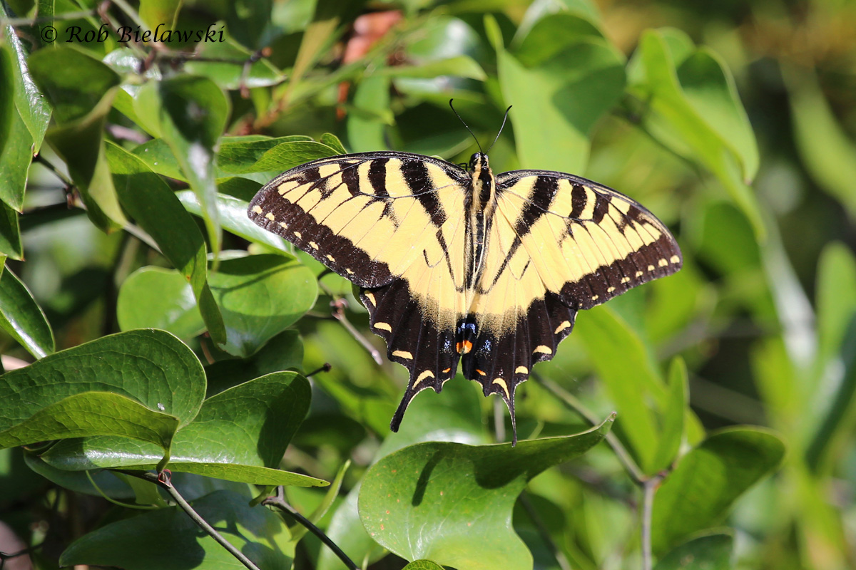 The most beautiful of the insects observed over the week, this is a Tiger Swallowtail!