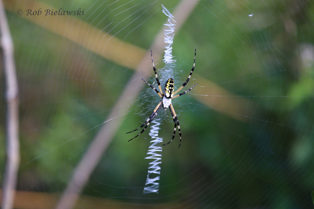 A Black-and-Yellow Garden Spider lays in wait for unsuspecting prey at Back Bay's Bay Trail!