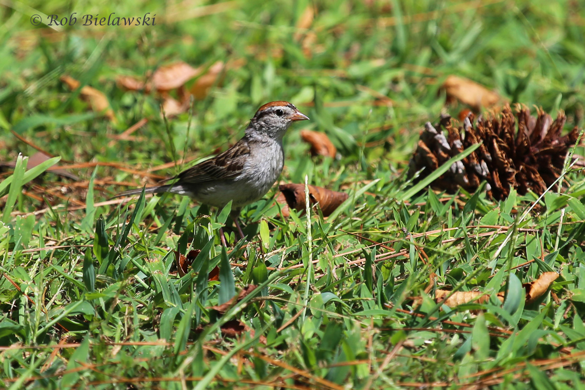 One of the species that took me a while to find this year, but now seems to be popping up everywhere; the Chipping Sparrow!