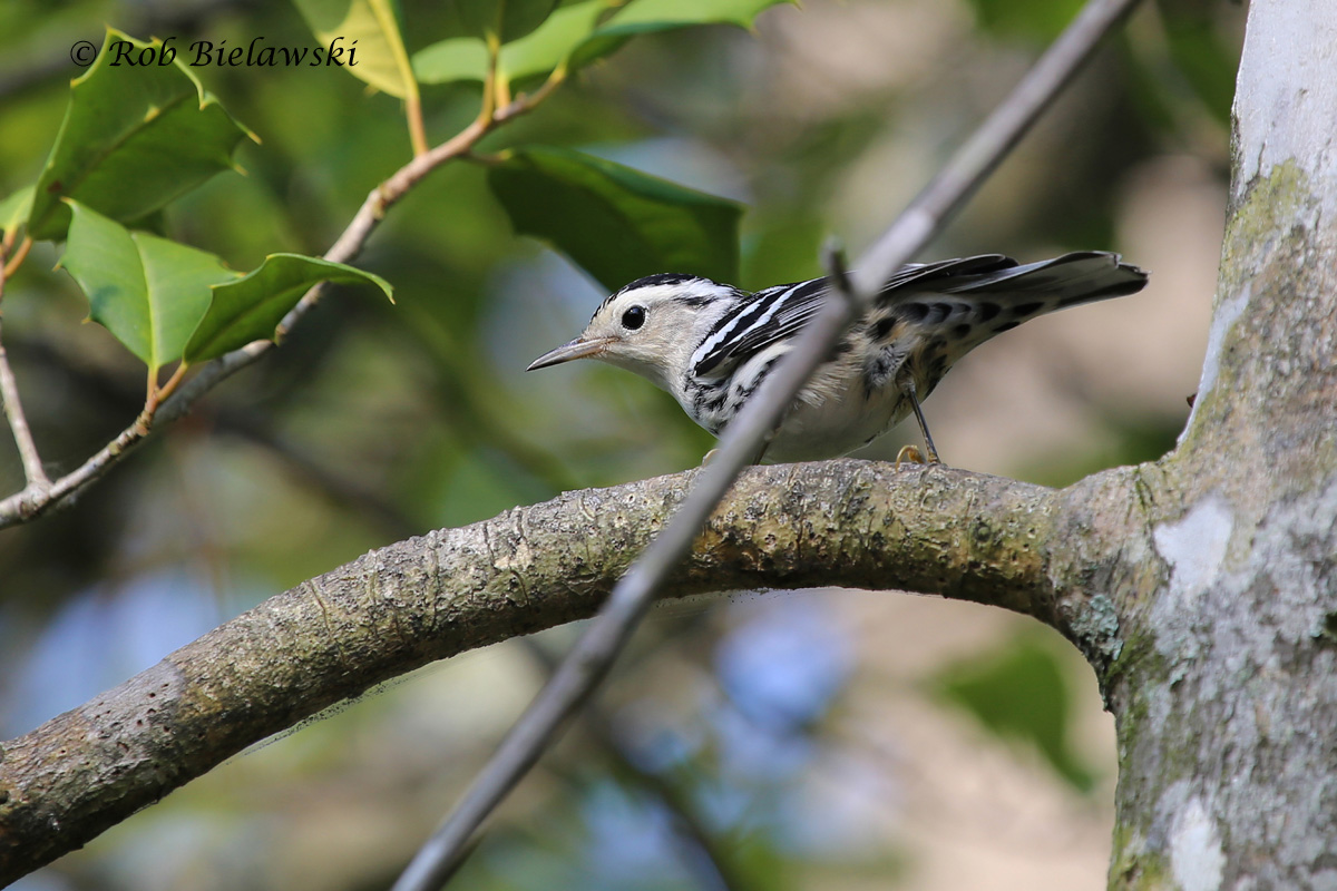 The second Black-and-White Warbler I've seen in Virginia Beach this year, a female again, seen at First Landing State Park!