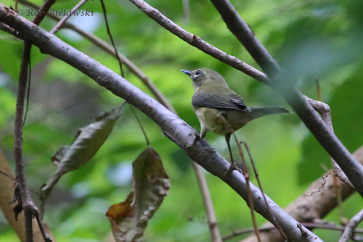 A new Life Bird, and #200 in Virginia Beach (all-time), a beautiful female Black-throated Blue Warbler!