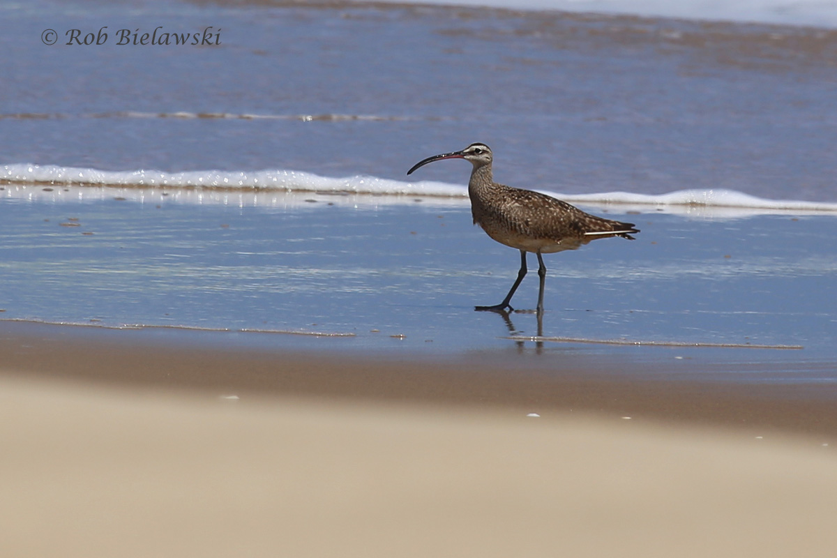 The Whimbrel continues to be seen at Back Bay NWR!