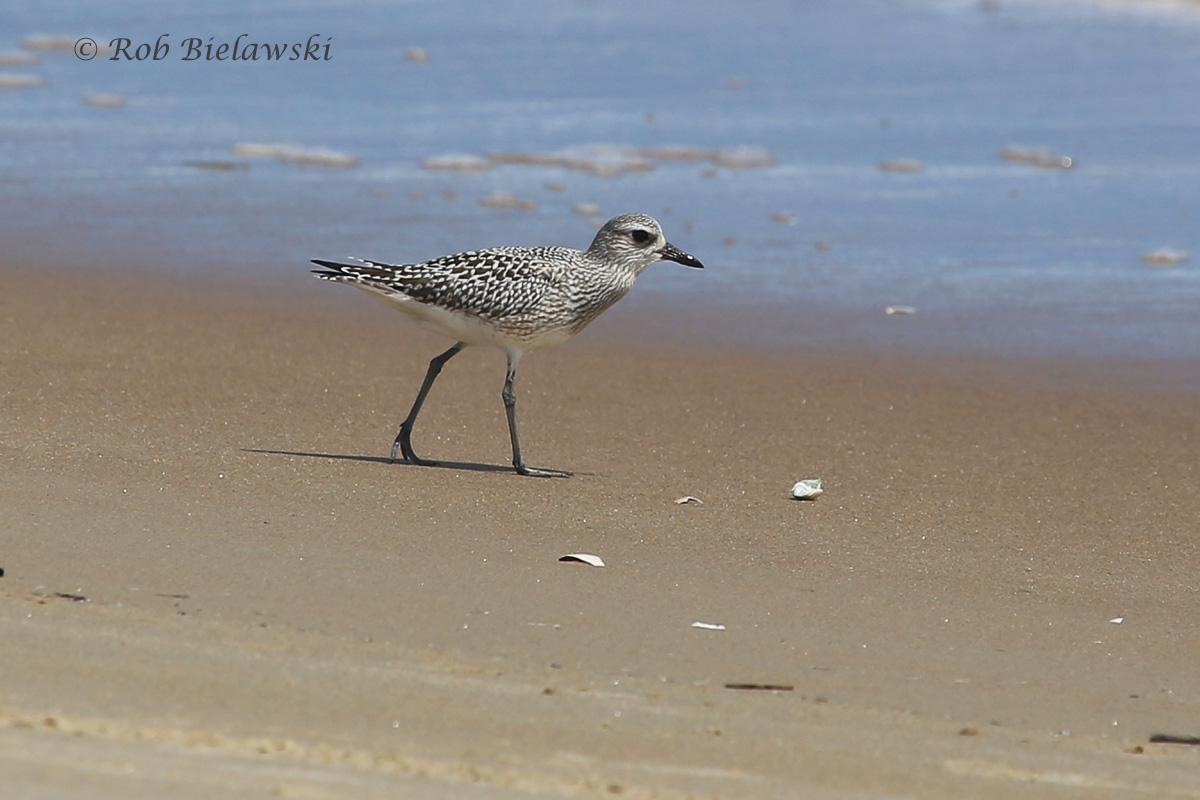 Another juvenile, this time a Black-bellied Plover seen at Back Bay NWR!