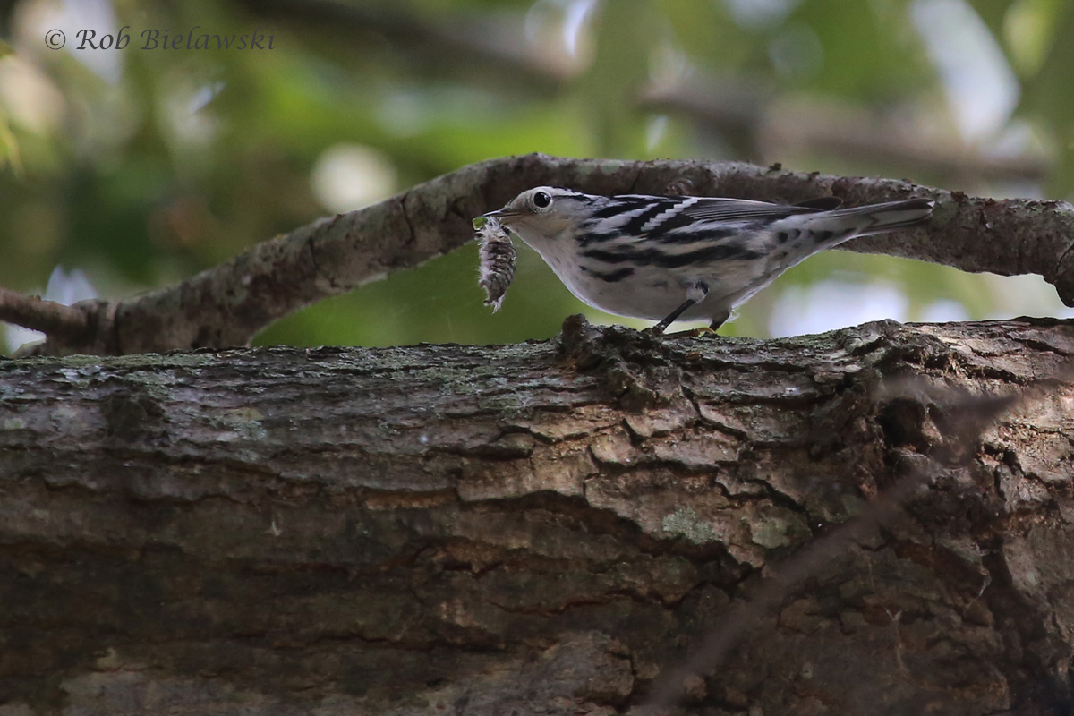 An adult female Black-and-White Warbler feasts on the caterpillar it found at Kings Grant Lake Park!