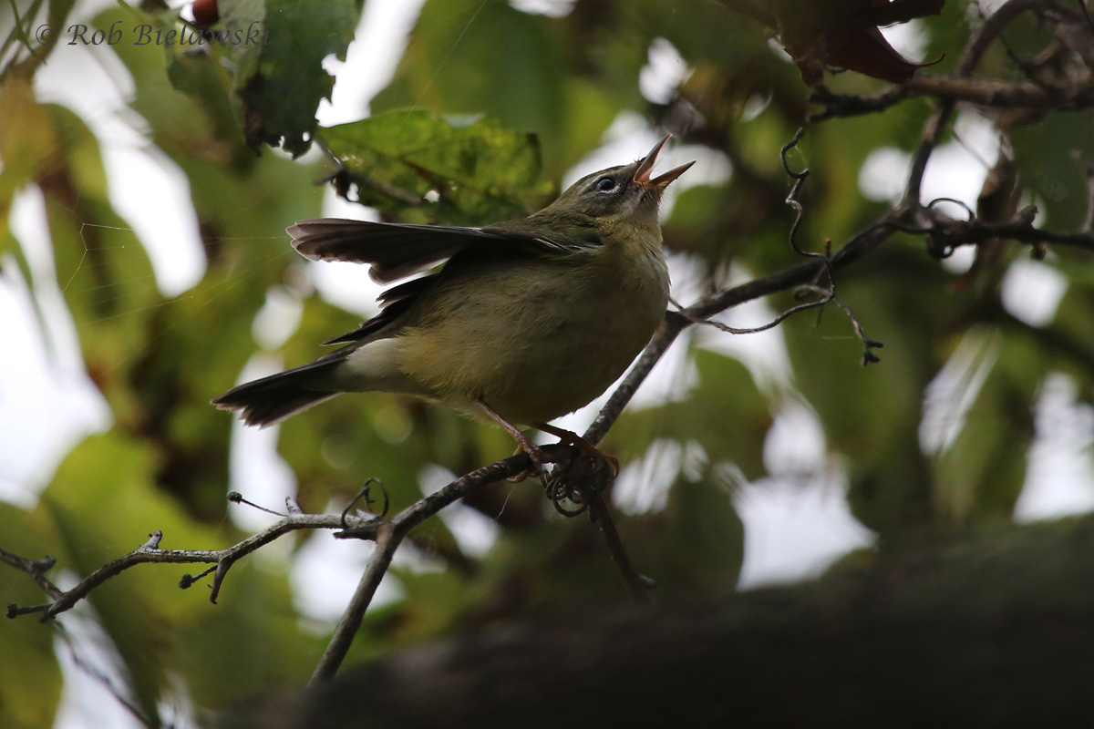 My second Black-throated Blue Warbler over the past week (and in my life), this time an adult female!