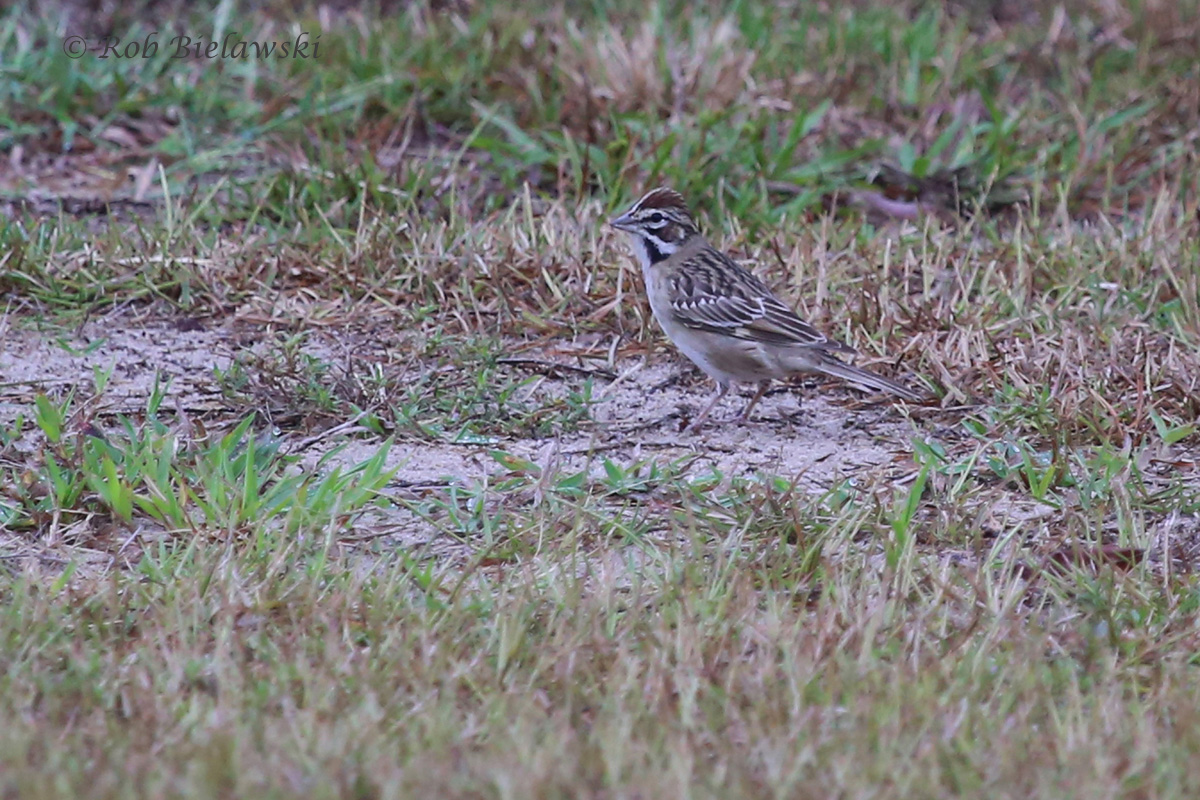 A new life bird for me at Back Bay NWR on Sunday morning: the Lark Sparrow!
