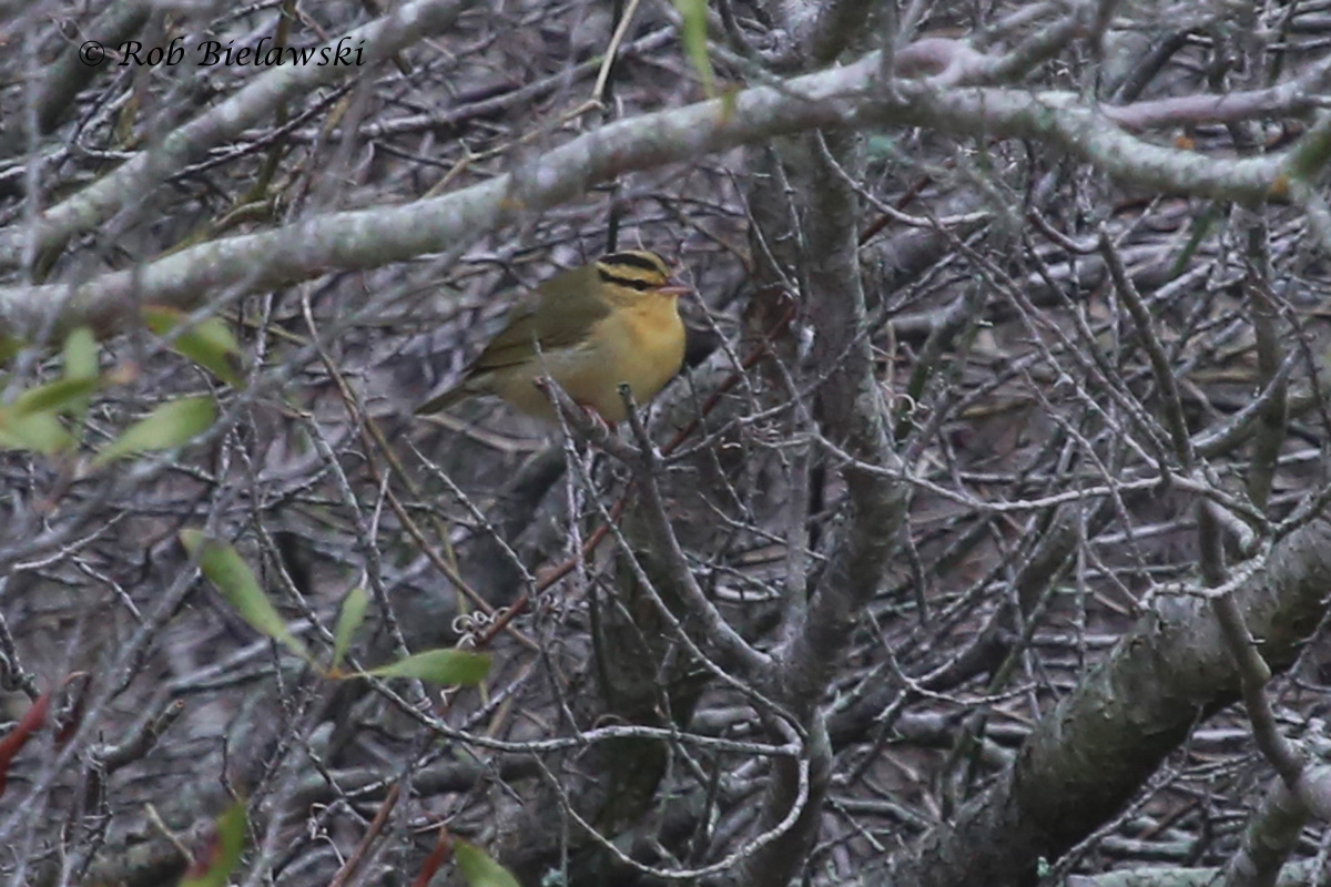 An amazing second life bird in the same day, a Worm-eating Warbler at Back Bay NWR!