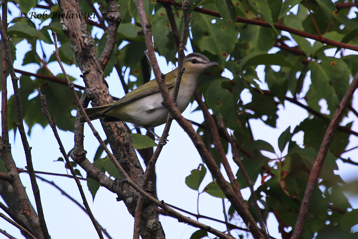 """Probably my best shot of a Red-eyed Vireo to date, as it finally paused in the """"open"""" for a little while at Back Bay on Sunday!"""