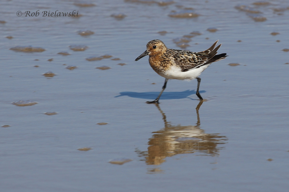 24 Jul 2015 - Back Bay NWR, Virginia Beach, VA