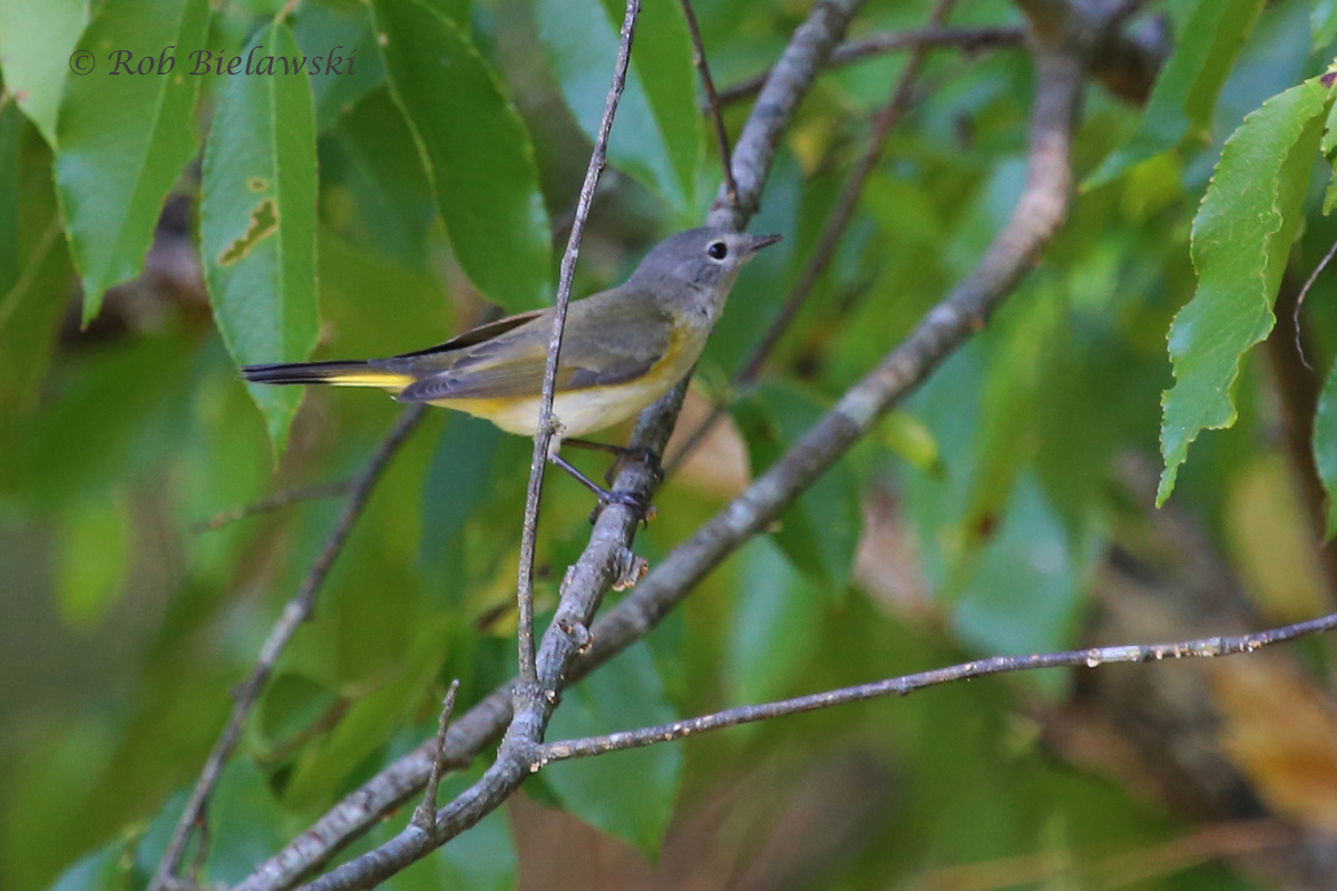 Along with the Black-and-White Warbler, this American Redstart was the most commonly seen warbler species on the day. This one was sighted at Magothy Bay Natural Area Preserve.