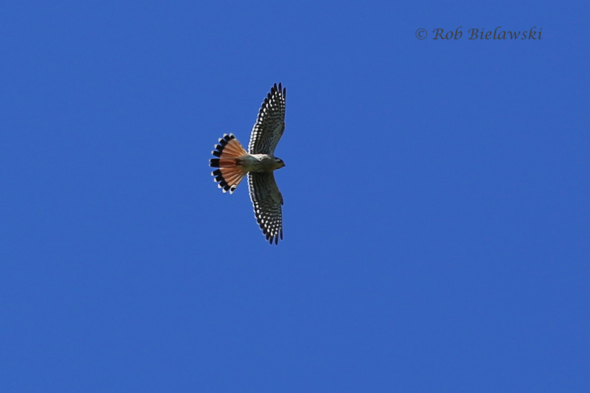 A gorgeous American Kestrel soared overhead while at Magothy Bay!