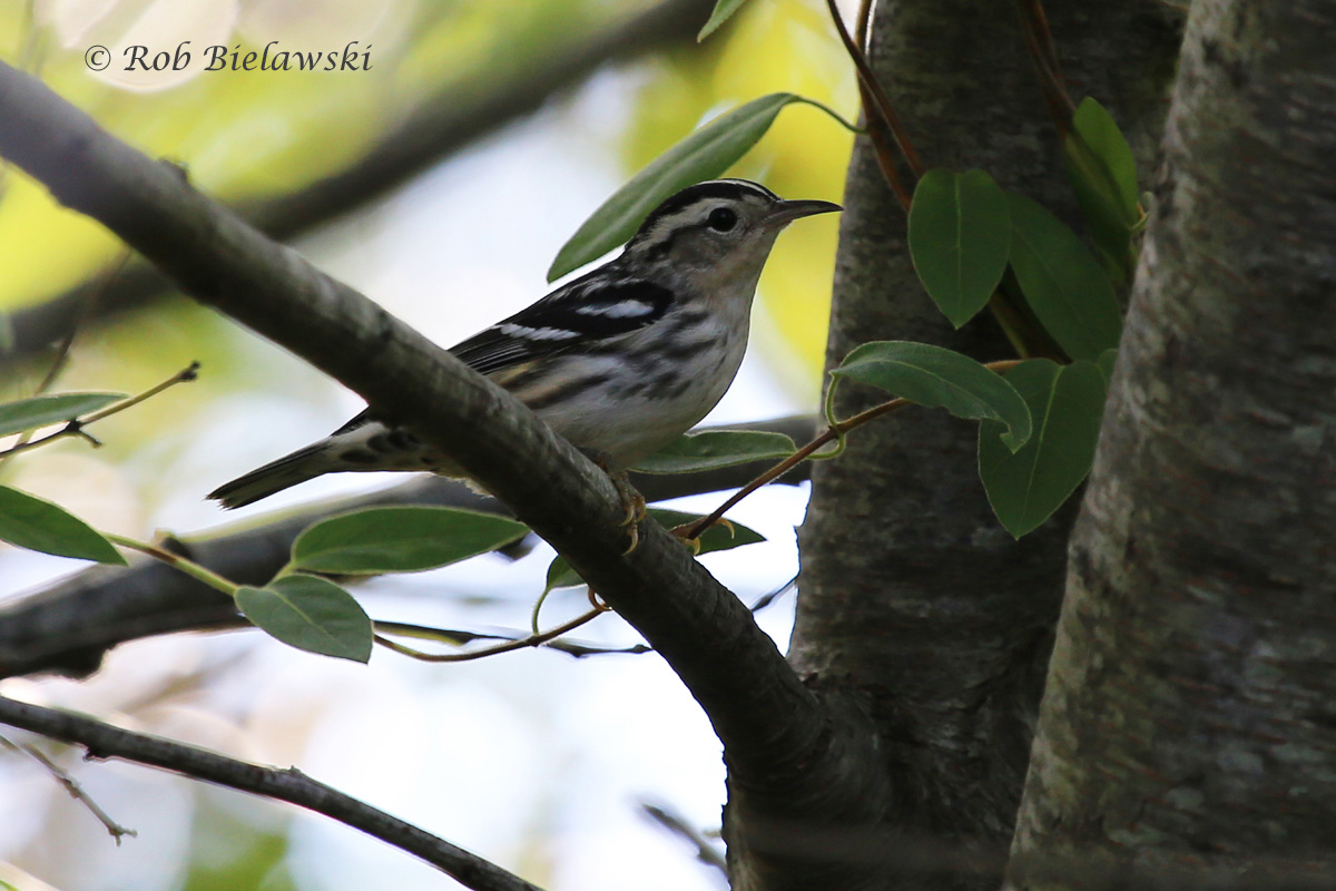 One of my best shots to date of the beautiful Black-and-White Warbler!