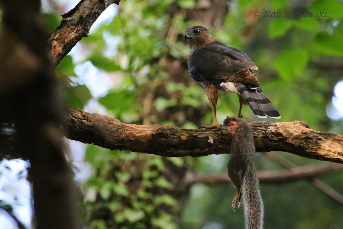 An adult Cooper's Hawk reigns supreme in the forest, shown here with a feast of Eastern Gray Squirrel!