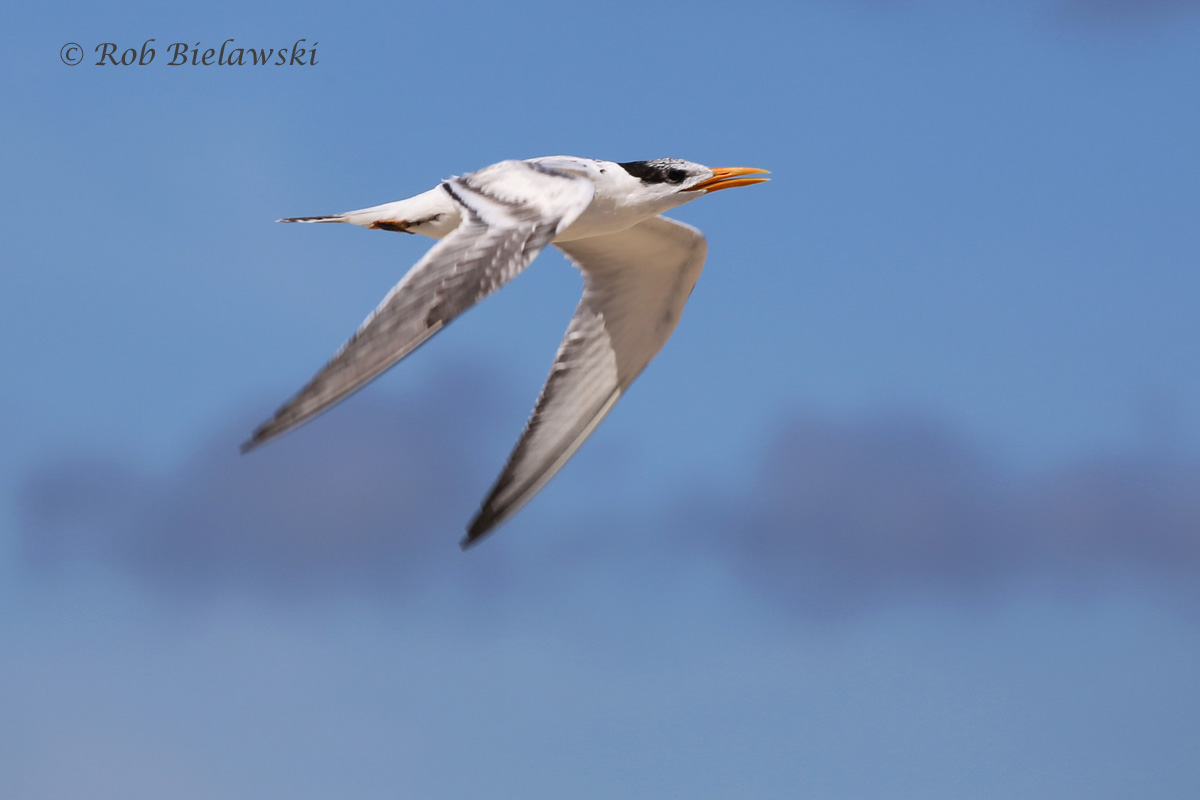 WE DIDN'T FIND ANY UNTIL ARRIVING AT CHINCOTEAGUE, BUT THE ROYAL TERNS, INCLUDING THIS JUVENILE, WERE ALL OVER THE BEACH!