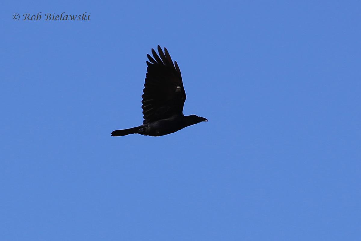 Crow sp.