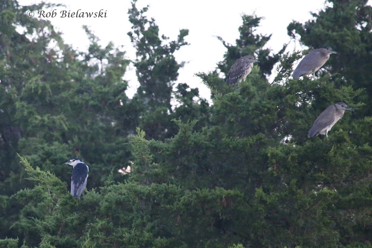 Black-crowned Night-Herons