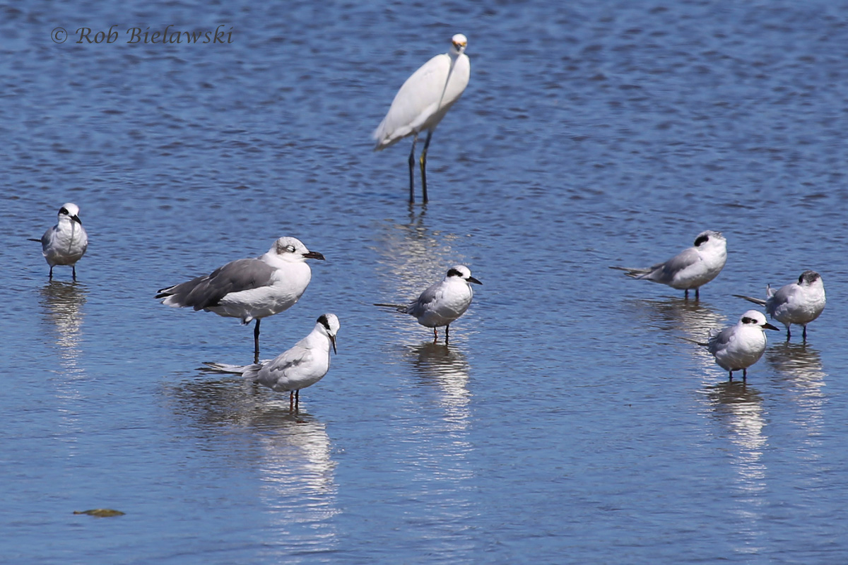 Snowy Egret, Laughing Gull & Forster's Terns