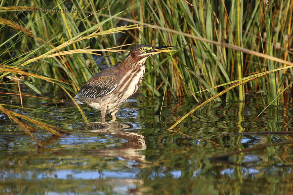 A juvenile Green Heron was found in the precise spot it was a week prior to this outing at Pleasure House Point!