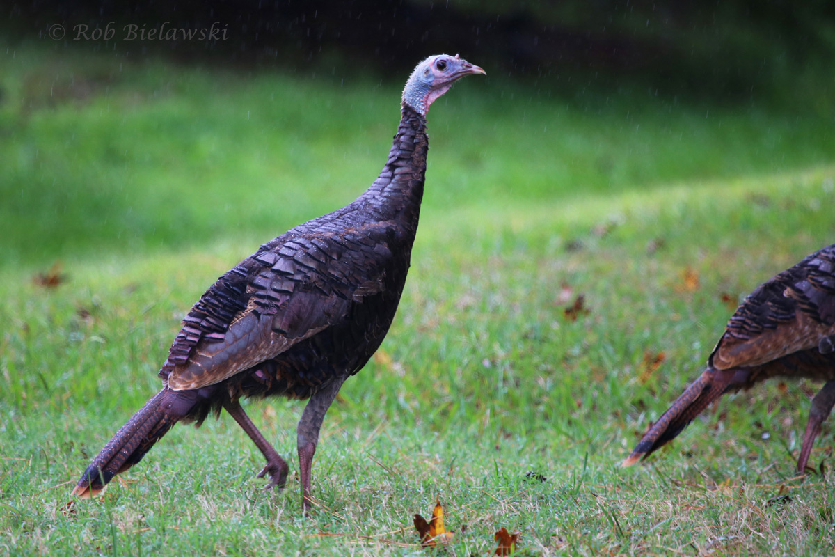 My very first Wild Turkey sighting within the City of Virginia Beach boundaries! Taken during heavy intermittent rains in the the Blackwater area of southwester VB on Saturday morning!