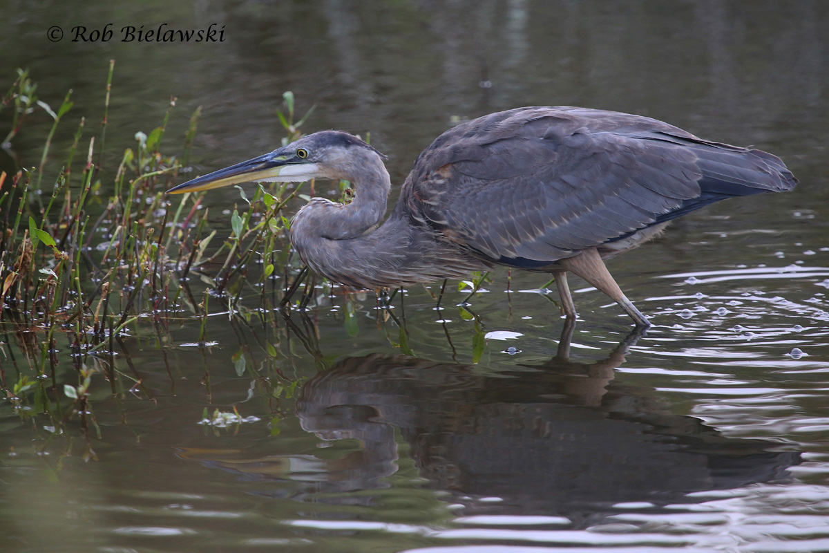 All the wind this week made photographing smaller birds almost impossible, but the wading birds, like this juvenile Great Blue Heron were there to take up the slack!