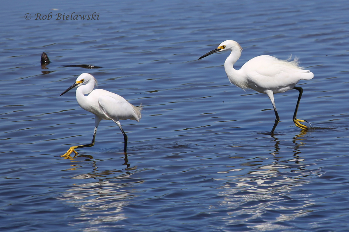 19 Sep 2015 - Chincoteague NWR, Accomack County, VA