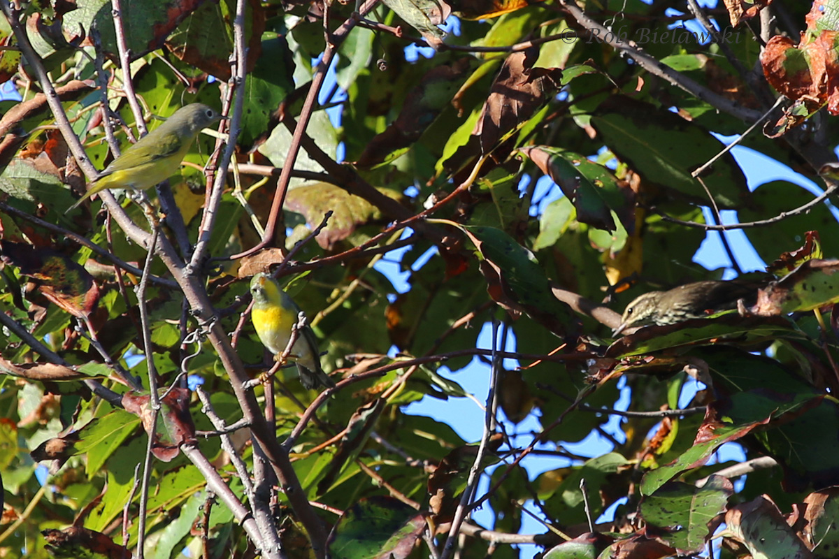Nashville Warbler (top left), Northern Parula (lower left), and Northern Waterthrush (right) - 20 Sep 2015 - Back Bay NWR, Virginia Beach, VA