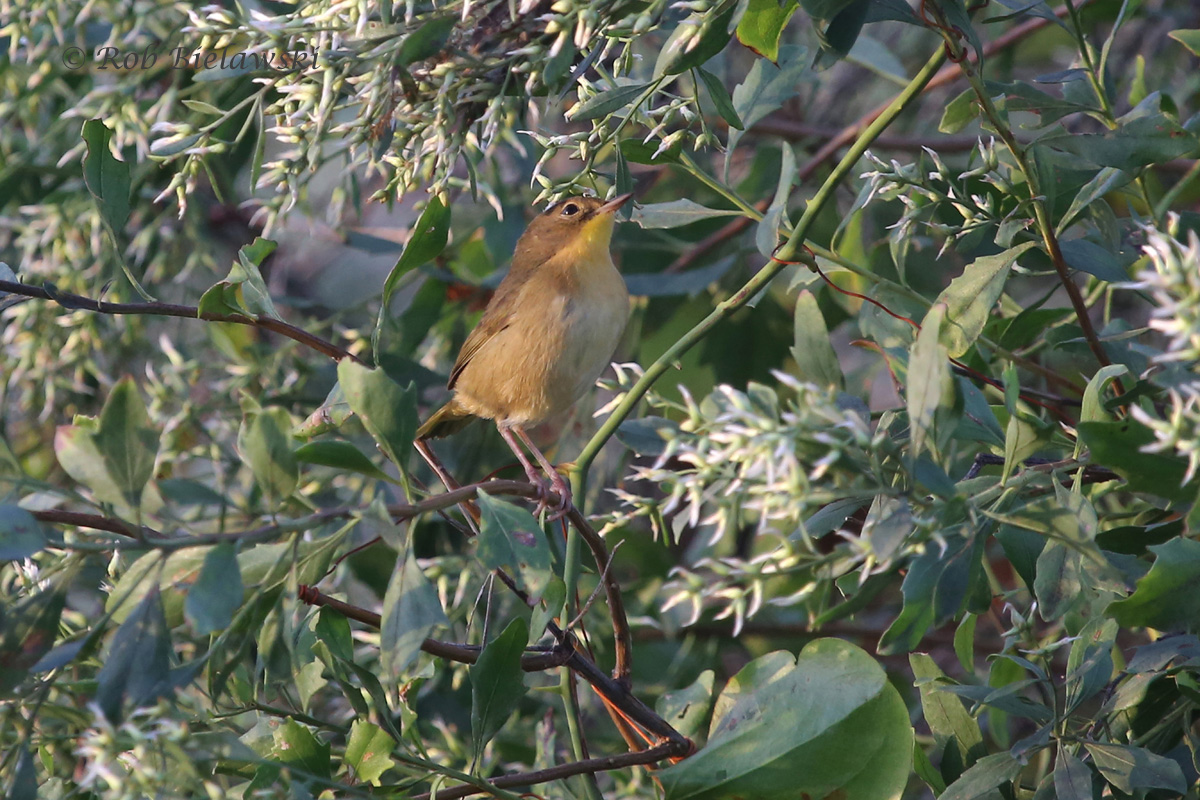A female Common Yellowthroat moves through the thick foliage along the Bay Trail at Back Bay NWR on Saturday morning!