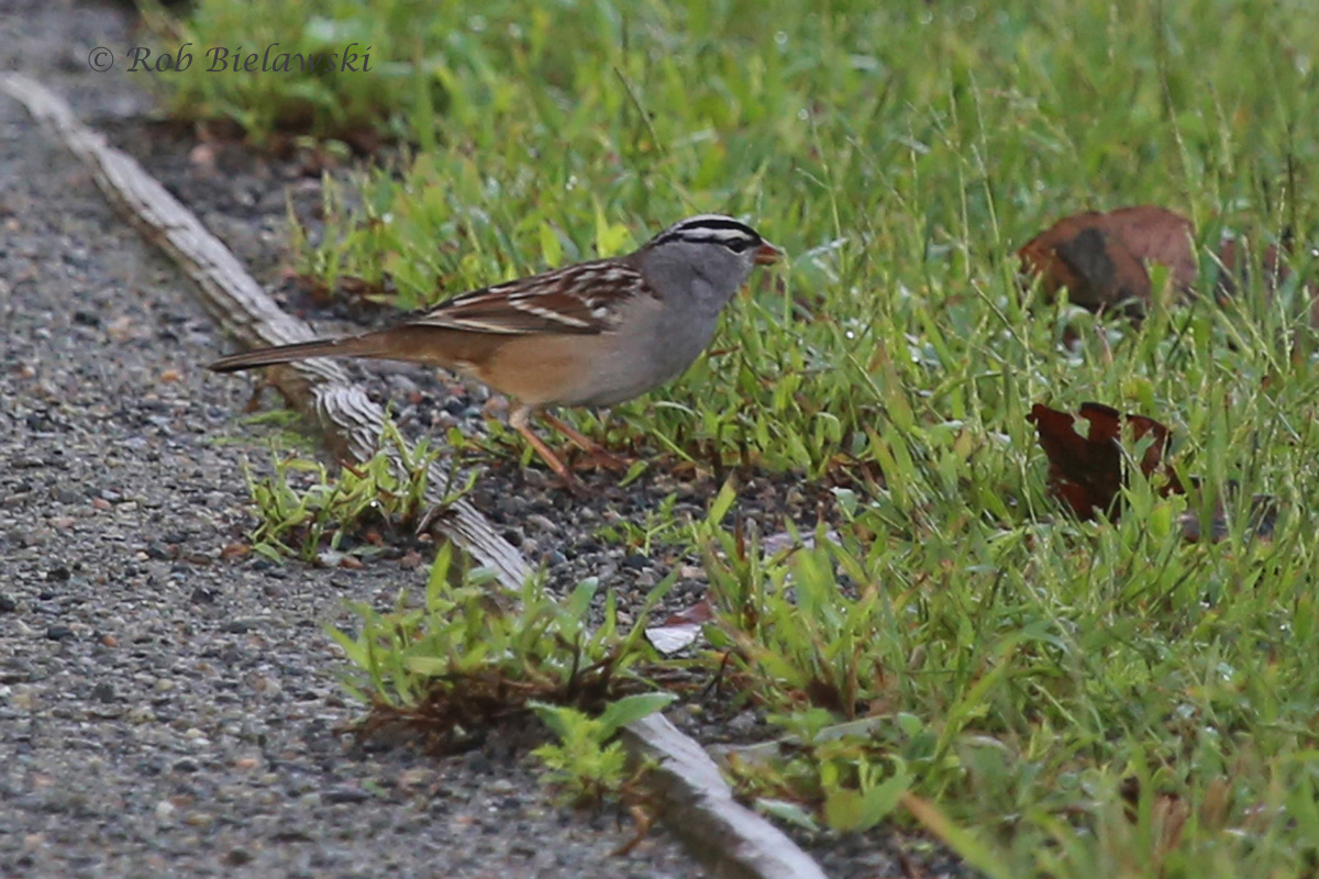 A new Virginia state lifer, a White-crowned Sparrow! This bird was seen briefly on Saturday morning just behind the visitor contact station at Back Bay NWR!