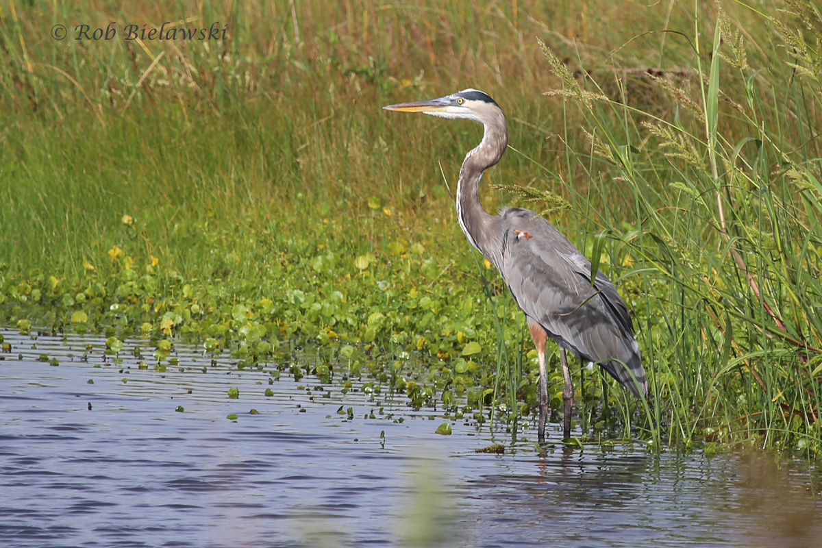 One of my most commonly photographed bird species, but one I love to see each and every time, a Great Blue Heron!