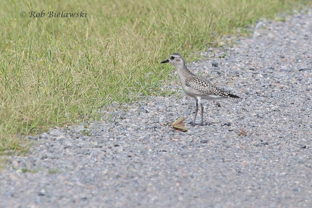 Black-bellied Plovers were seen right up on the East Dike roadway for the first time ever. This one was even dining on a Praying Mantis, seen below it on the gravel.