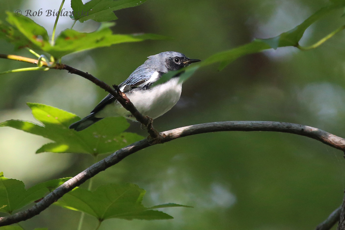The first male Black-throated Blue Warbler I've ever seen, such a beautiful sight!