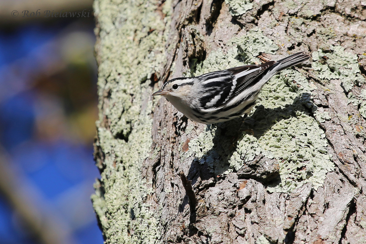 Black-and-White Warblers have been pushing through in good numbers, but they are still a challenge to photograph!
