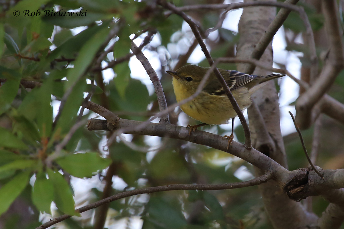 County year bird #197, the Blackpoll Warbler, seen here at Lake Lawson & Lake Smith Natural Area!