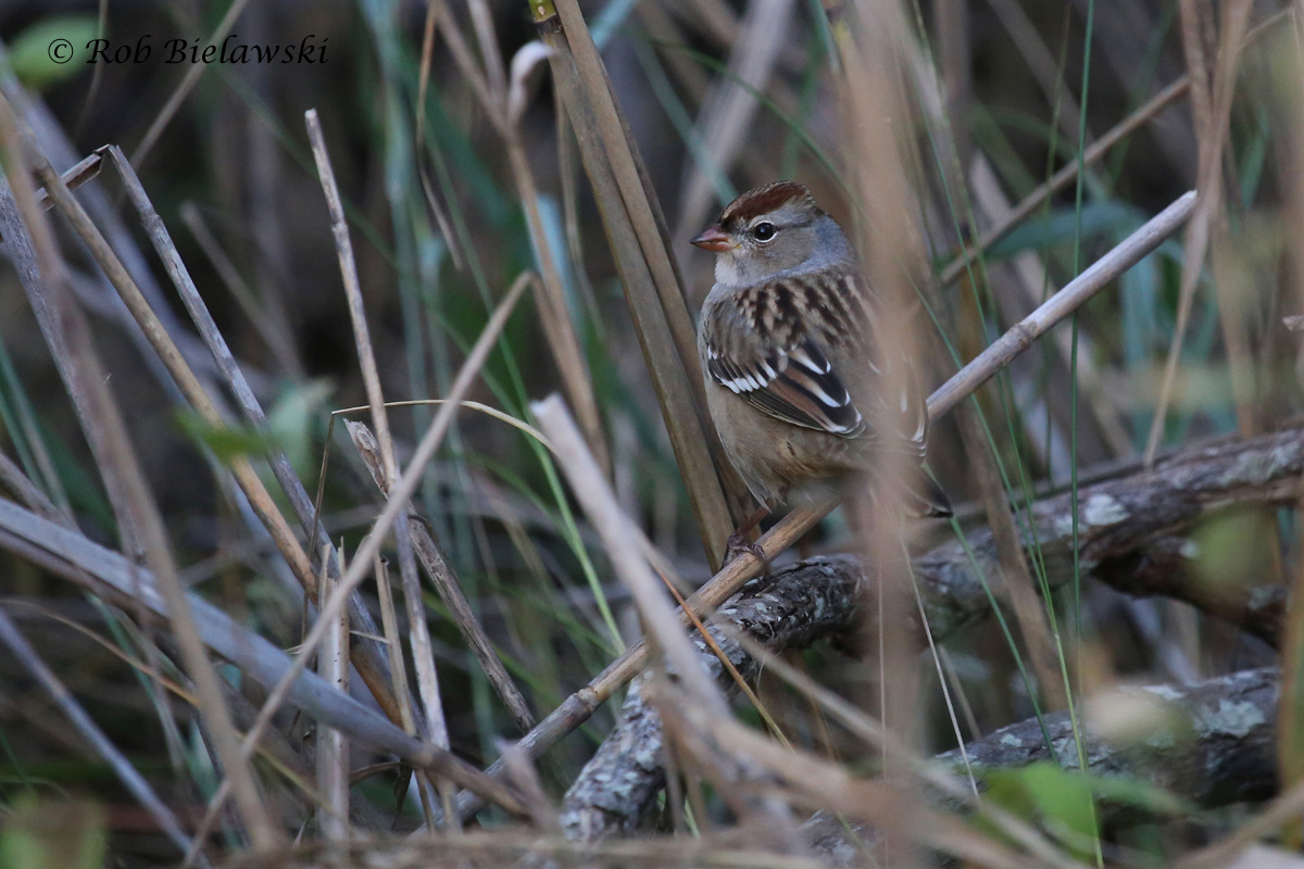 A juvenile White-crowned Sparrow sighted at Pleasure House Point on Thursday evening, a first for the park!