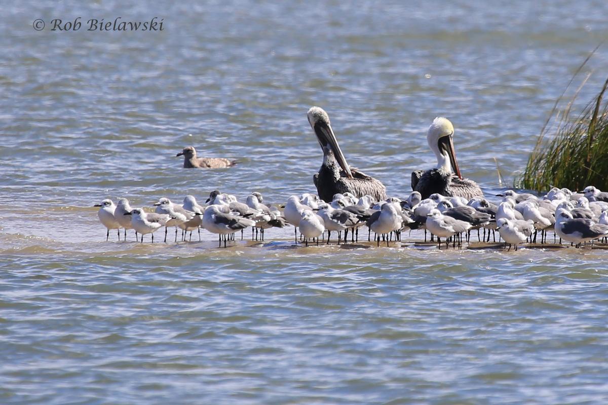 Brown Pelicans, Herring & Laughing Gulls