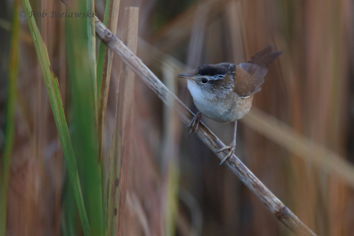 One of three Marsh Wrens that my mother & I got to view at Back Bay National Wildlife Refuge!