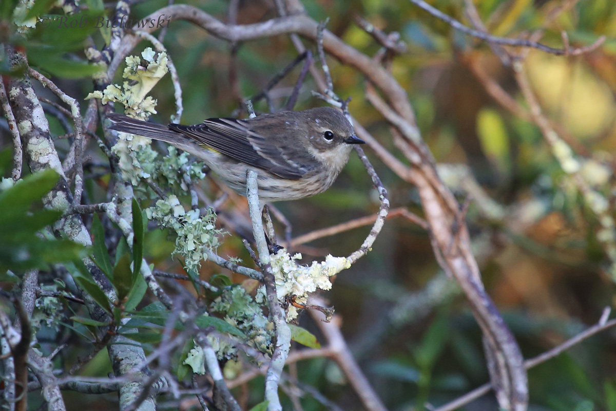 One of many, many Yellow-rumped Warblers seen at Back Bay!