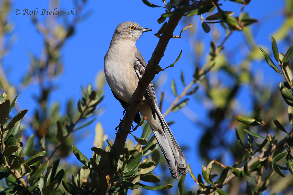 Our most vocal mimic thrush, the Northern Mockingbird, seen at Pleasure House Point!