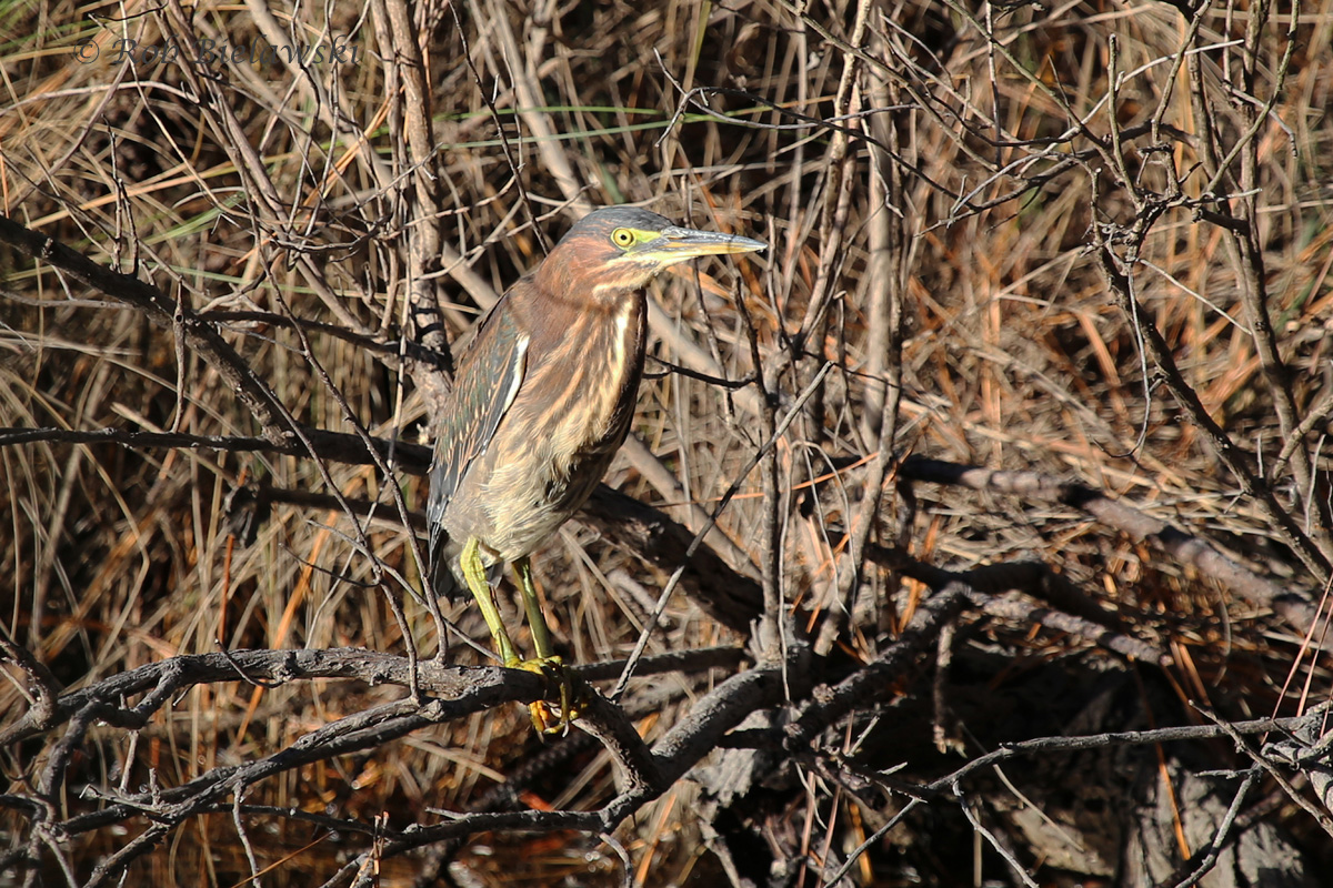 Very late in the year to be seeing this Green Heron at Pleasure House Point on Friday evening!