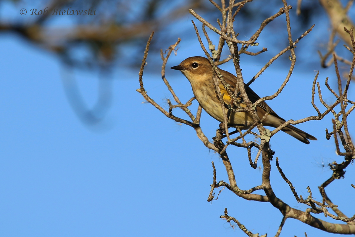 Yellow-rumped Warblers have officially taken over the region!