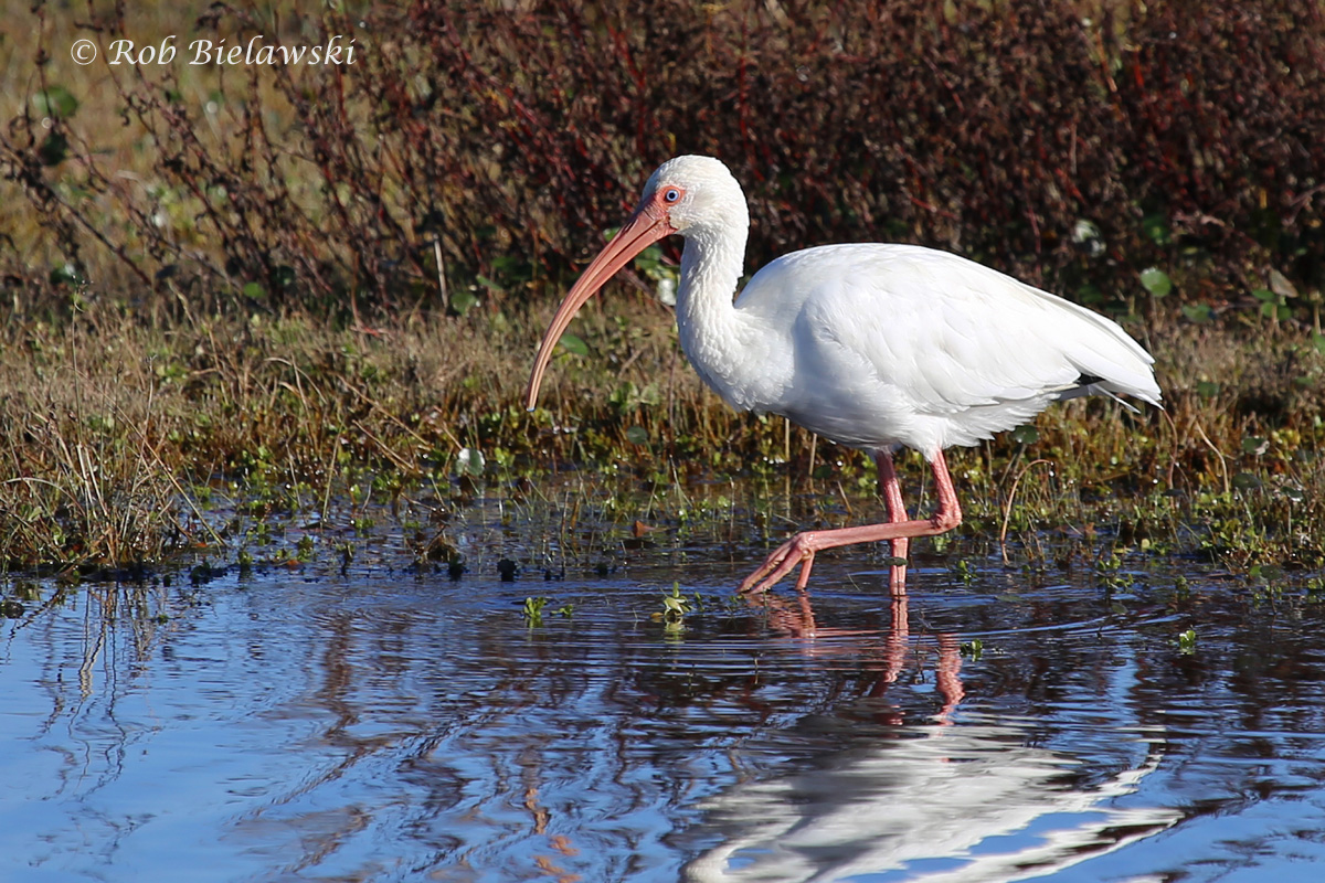 One of the 11 beautiful adult White Ibis seen along the East Dike at Back Bay NWR!