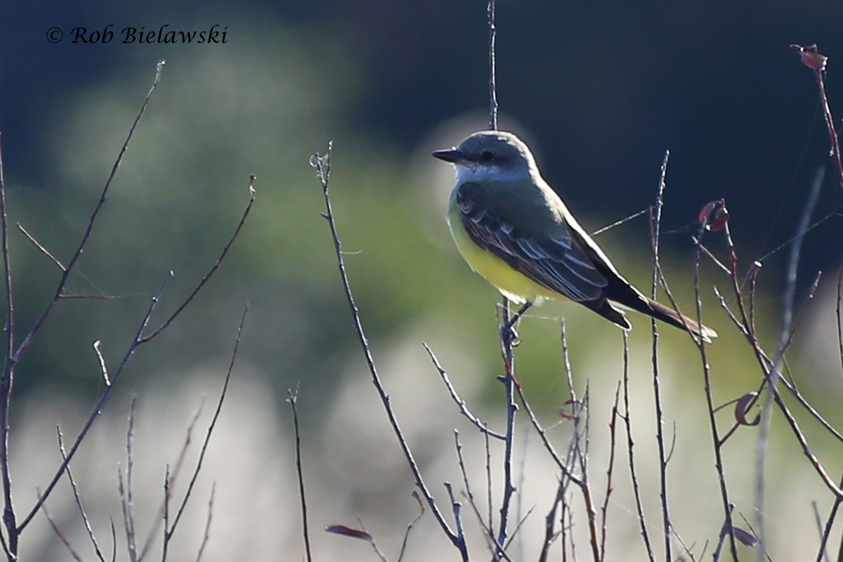 The Western Kingbird! So far this bird is my most noteworthy find of the year, being the first to be reported in the state of Virginia in 2015!