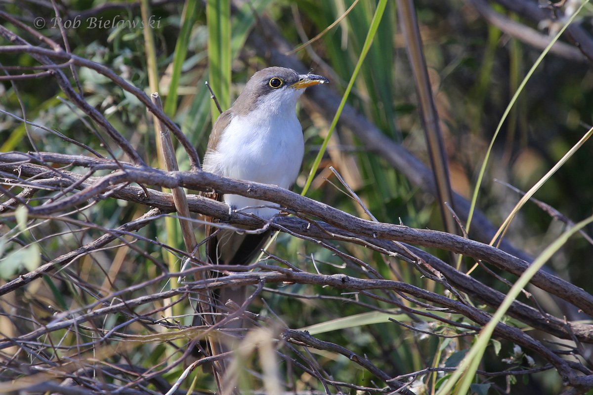 Another late-in-the-season sighting, this Yellow-billed Cuckoo was found on the Bayside Trail boardwalk at Back Bay. Easily my best view of one this year, and amazing that it occurred on 31 Oct!